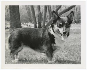 Black and white close up photo of a corgi standing in grass with his side facing the camera. The dog has his tongue our and looks towards the camera. The base of tree trunks can be seen in the background.