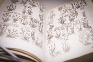 An open book, both pages containing  rows of drawings of small plants.