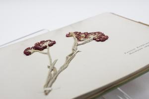 Closeup of an illustration of a dark red flower on a white page.