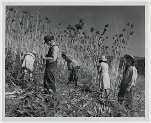 Primary view of object titled '[Harvesting Cane]'.