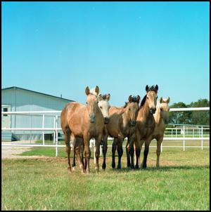 Light brown horses stand close to each other, side by side. There are 5 of them. The grass they are on is enclosed by a white fence.
