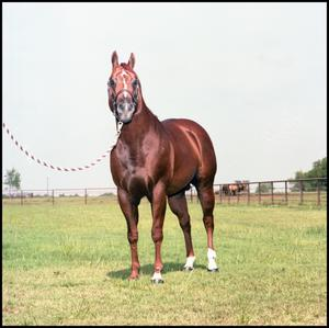 A horse, dark brown/red in color faces towards the camera. A striped rope can be seen on the left side of the picture attached to the horse.
