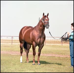 A dark brown horse stands while a woman with short hair to the right of the picture holds its reigns. The woman has on a blue striped shirt and jeans.