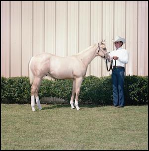 Man in a white shirt, jeans and a white cowboy hat holds the reigns of a horse to the left of the photo. The horse is a golden color, with white on its legs. They stand in front of trimmed short bushes on the edge of a building.