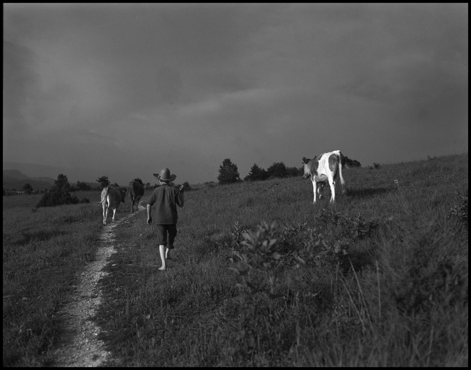 [Country Boy walking the Cows Home], Photograph of young Joe Day walking the cows home down a path in Cumberland Gap, Tennessee.,