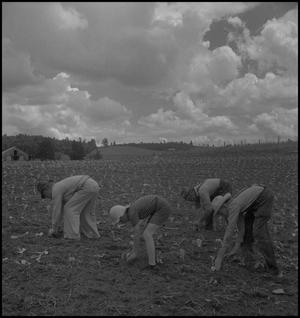 Primary view of object titled '[Wade Clark Sr. working in the garden]'.