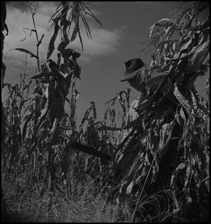 Primary view of object titled '[Harvesting corn]'.