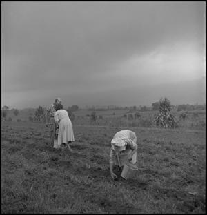 Primary view of object titled '[Pulling out rocks in the field]'.