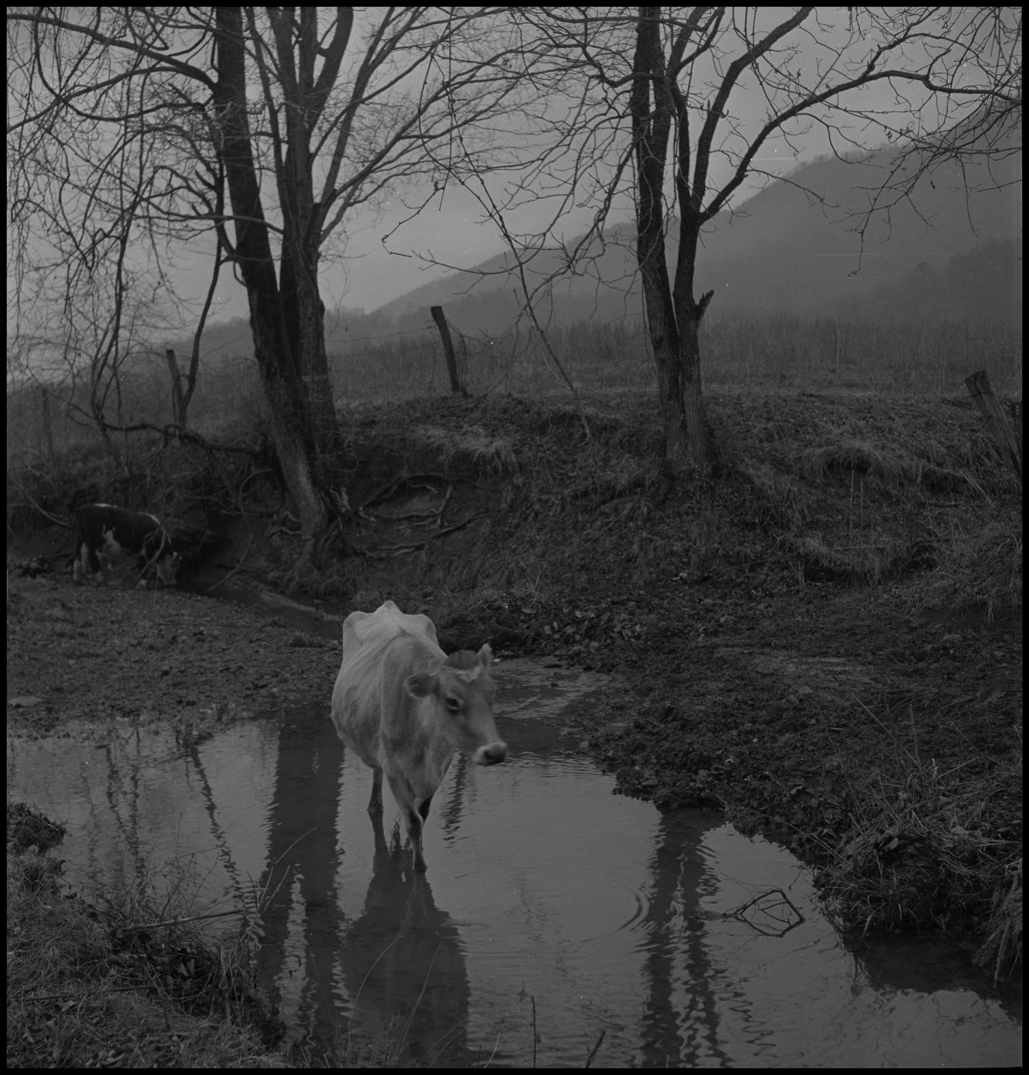 [Cow in water], Photograph of a cow standing in a small water hole. In the image, the water hole is from a dip in between trees and a wire fence can be seen behind them.,