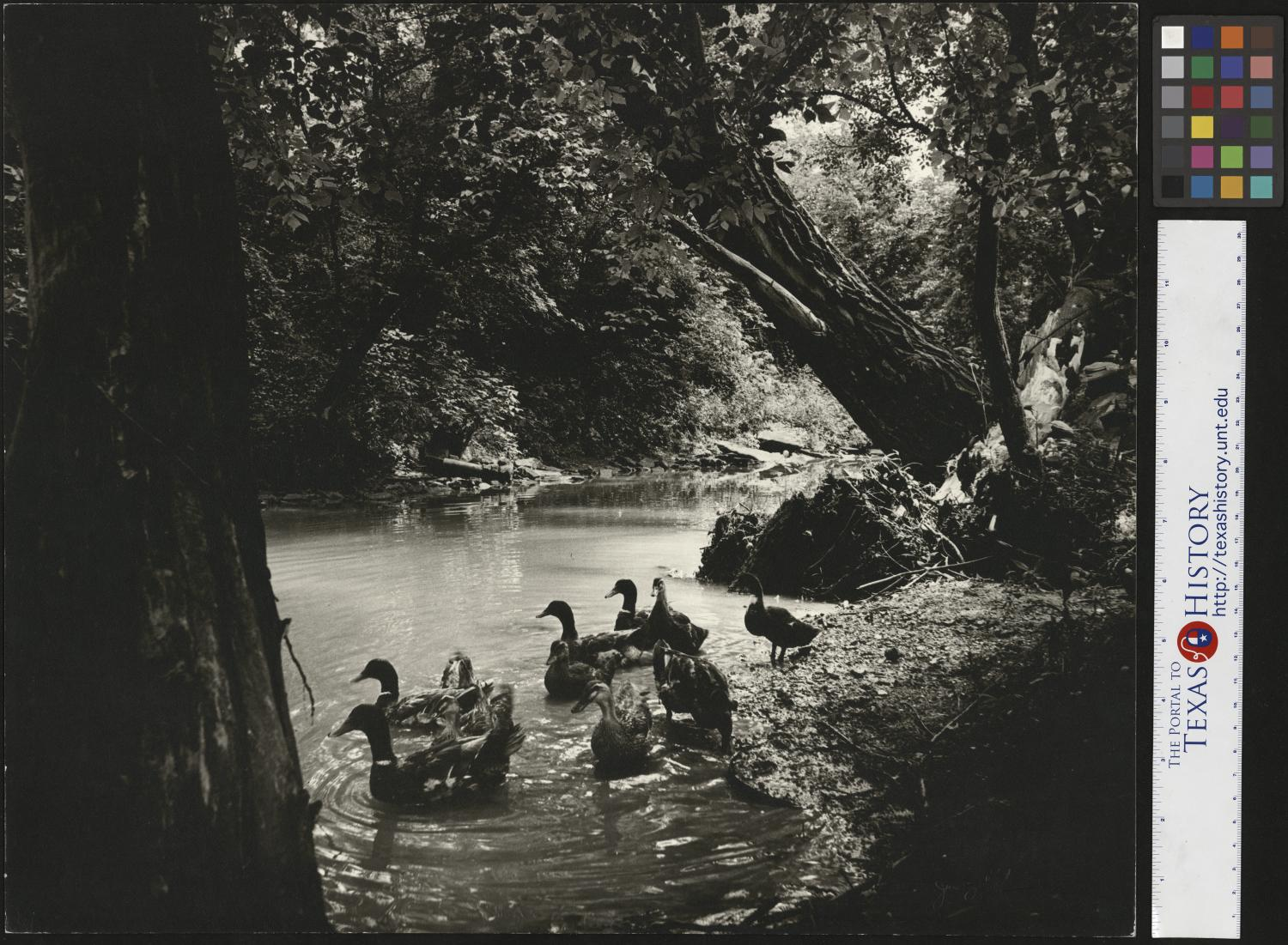 Ducks in Mulberry Creek, Lynchburg Tennessee, Photograph of a group of ducks, swimming in a creek. The shores of the creek are heavily forested, and a single, large trunk leans out over the water. Junebug Clark narrative: Ducks in Mulberry Creek, Lynchburg Tennessee. This was used in a Jack Daniel Ad. The story being that The Distillery was undergoing some renovation of their grain silos. The ducks would hang out around the silos searching for spilled grain and then lived in a pond behind the silos. During the renovation the ducks moved couple hundred yards to Mulberry Creek (see photo) but now the construction is over and peace has returned to The Hollow and so has our ducks. Photo by: Junebug Clark. Signed by: Junebug Clark Clark PhotoFile: 9045-0095-5,