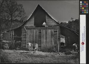 Primary view of object titled '[Cows in a Barn]'.