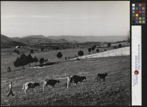 Primary view of object titled '[Boy herding cows]'.