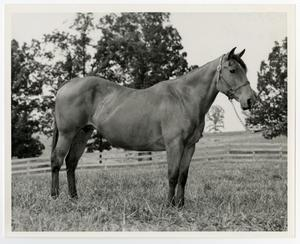 Primary view of object titled '[Bay mare with halter]'.