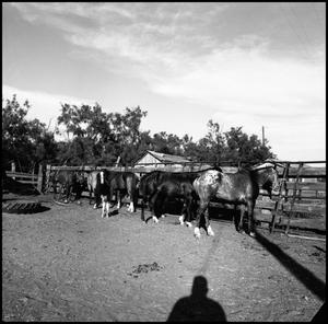 Primary view of object titled '[Horses at fence]'.
