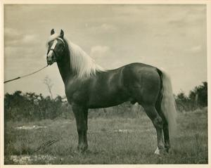 Horse with white hair and tail stands on a field of untrimmed grass. It is being held by a rope by something/someone unseen.