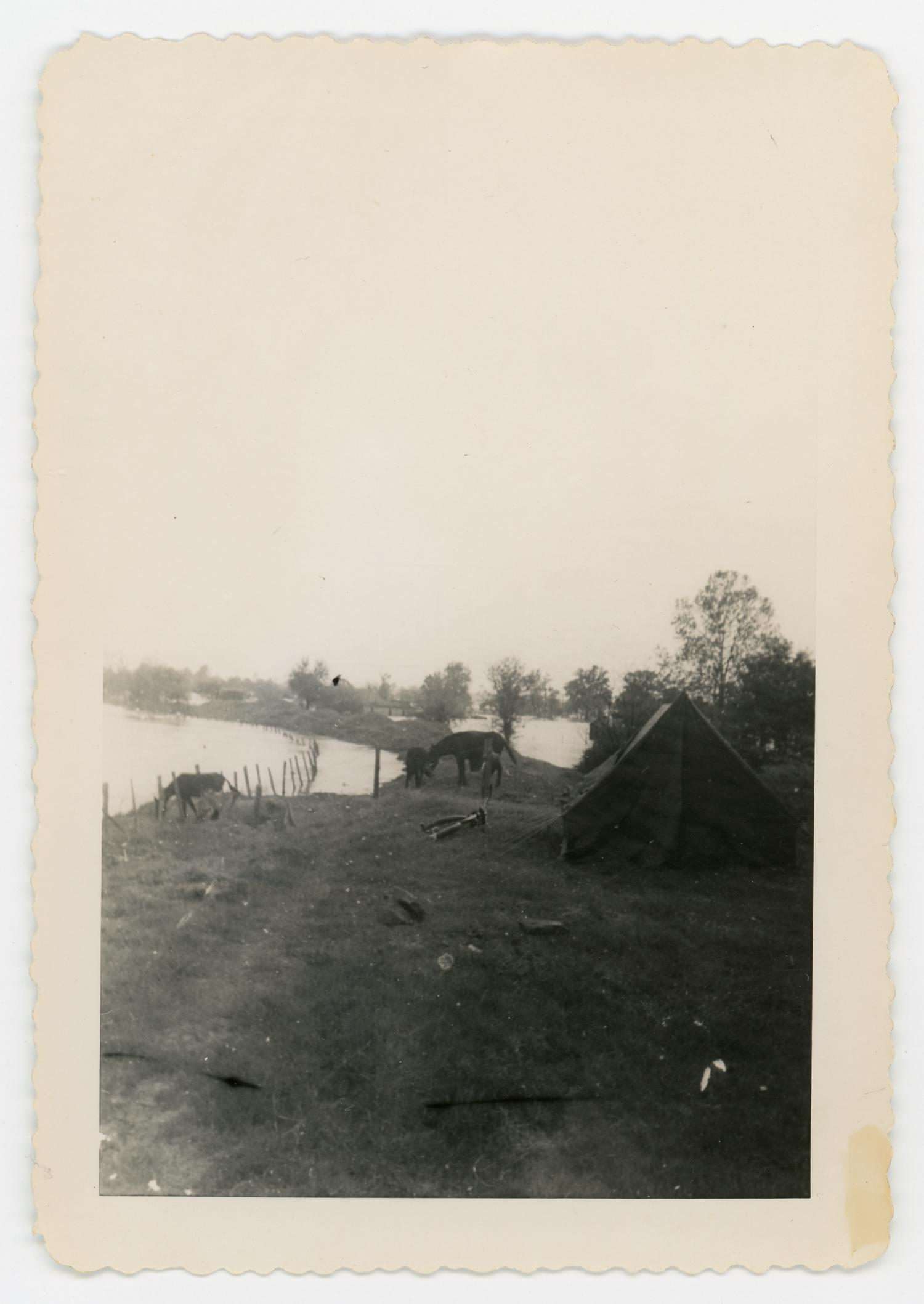 [Tent and cattle], Photograph of cattle grazing around an unidentified area next to a tent. On the distance, two ponds and some foliage are seen.,