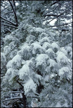 Primary view of object titled '[Tree branches covered in snow]'.