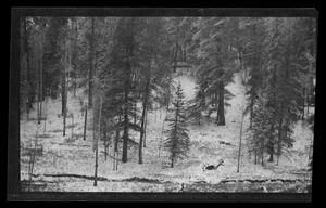 Primary view of object titled '[Photo of pine trees in a snowy landscape]'.