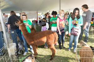 Primary view of object titled '[Llama at the Homecoming Tailgate Petting Zoo]'.