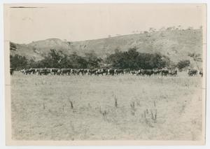[Cattle in Open Pasture]