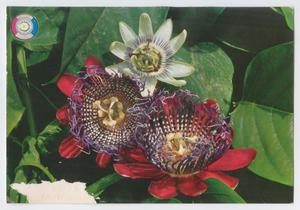 Postcard: Flowers of Paraguay