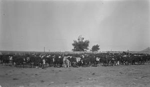 [Cattle and Windmill at Shroeter's Farm]