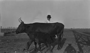 [Calf and Cow at Mr. Winn's Farm]