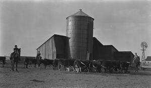 [Cattle in Front of Silo]