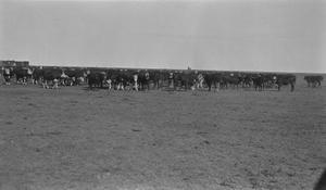 [Cattle at Mr. Peel's Farm]