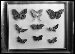 Primary view of object titled '[Butterfly Display]'.