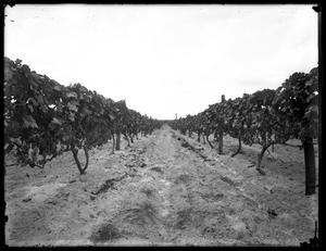 Primary view of object titled '[View of Grape Crops]'.