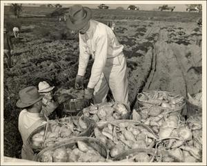 Primary view of object titled 'Sweet potatoes gathered from City's Victory Garden'.