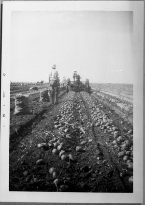 Primary view of object titled '[Harvesting Potatoes]'.