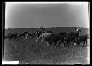 Primary view of object titled '[Cattle Grazing]'.