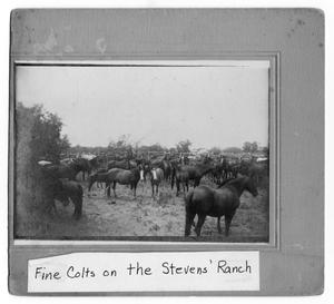 Primary view of object titled 'Fine Colts on the Stevens' Ranch'.