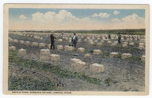 Primary view of object titled '[Espejo Farm, Bermuda Onions, Laredo, Texas]'.