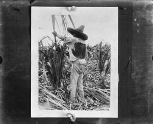 Primary view of object titled '[Sugarcane harvest]'.