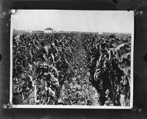Primary view of object titled '[Cotton crop in field, house in background]'.