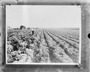 Primary view of object titled '[Cabbage field]'.