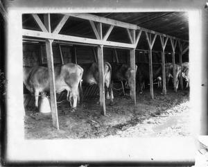 Primary view of object titled '[Cattle in milking shed]'.