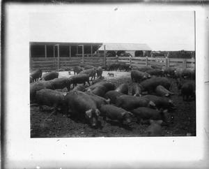 Primary view of object titled '[Pigs in pen #1]'.