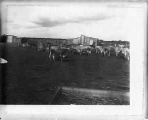 Primary view of object titled '[Cattle in front of shed]'.