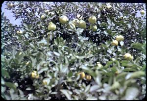 Primary view of object titled '[Photograph of Orange Tree]'.