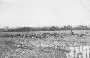 Primary view of object titled '[500 Turkeys in Sugar Land]'.