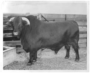 [Gus Wortham's bull standing by wooden fence]