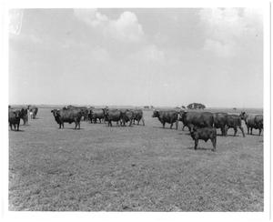 Primary view of object titled '[Gus Wortham's cattle in field at Nine Bar Ranch]'.