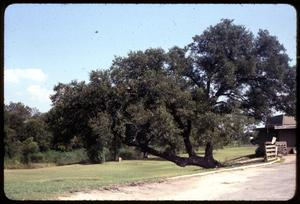 Primary view of object titled '[Indian Marker Tree]'.