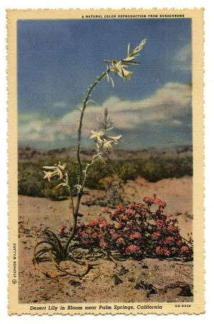 Primary view of object titled '[Palm Spring's Desert Lilly]'.