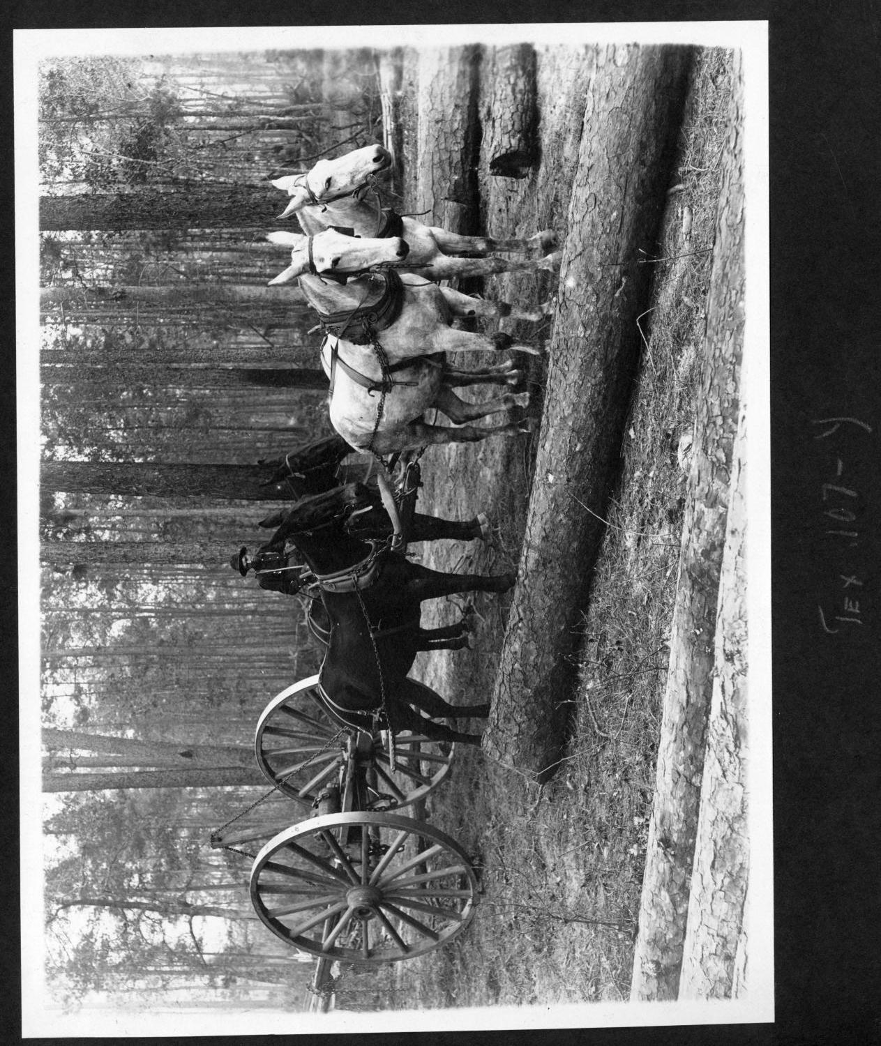[Southern Pine Lumber Company Slip Tongue Log Skidder and Team]                                                                                                      [Sequence #]: 1 of 1