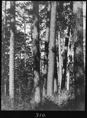 Primary view of object titled '[Shortleaf Pine Timber, Houston County, Texas - 3]'.